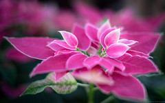 Touch of Grace (Fret Spider) Tags: garfieldparkconservatory flower growth life plant bokehdelicious bokeh manuallens leicasummiluxm50mmf14asph sonya7ii voigtlander pink love dof oof depthoffield outoffocus horticulture