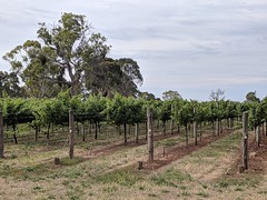 Vines on the edge of town (koukat) Tags: road trip viaje travel south australia sa coonawarra wine region drive driving wineries bodegas cata vino tasting penola limestone coast
