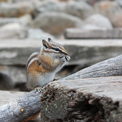 Chipmunk in St. Elmo Ghost Town, Colorado (russ david) Tags: chipmunk saint st elmo ghost town colorado co october 2018 travel chaffee county