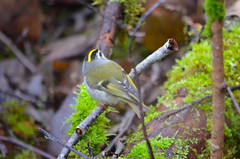Golden-crowned Kinglet (Neal D) Tags: bc langley campbellvalleypark bird kinglet goldencrownedkinglet regulussatrapa
