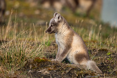 Arctic Fox Kit (Dan King Alaskan Photography) Tags: arcticfox fox vulpeslagopus kit summer northslope alaska canon80d sigma150600mm protectwildlife preservewilderness