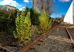 """Branch"" line... 20181110_3864 (listorama) Tags: overgrown usa washington kent spur industryspur abandoned warehouse tracks"