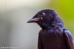 Black drongo (asheshr) Tags: 200500mm backyardbirding bird birding birds birdsathome blackdrongo d7200 drongo nikkon nikkor portrait birdportrait