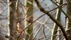 a Wren - un Troglodyte (1/2) (Franck Zumella) Tags: bird oiseau nature hidden hidding cacher wildlife tree arbre branch branche wren troglodyte mignon sony a7s a7 tamron 150600 animal