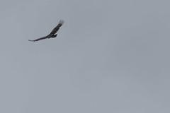 IMG_4444 (armadil) Tags: prairie ranchocorraldetierra bird birds vulture turkeyvulture flying