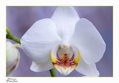 Meine Orchidee (monforklick) Tags: mittwochsmakro orchidee blüte weis makro