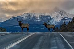 Two Elk Highway (RkyMtnGrl) Tags: landscape nature scenery vista elk wildlife bulls antlers highway mountains peaks snow winter january drive commute allenspark mtmeeker colorado 2019