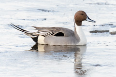 Swimming through the ice. (tresed47) Tags: 2019 201901jan 20190128bombayhookbirds birds bombayhook canon7dmkii content delaware ducks folder january northernpintail peterscamera petersphotos places season takenby us winter