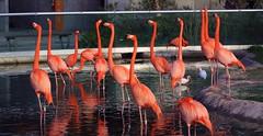 Neck Convention (PelicanPete) Tags: flamingo neck dance movement action bird zoomiami miamiflorida unitedstates usa neckdance nature beauty aviancapture phoenicopterusruber pink americanflamingo group neckconvention miami
