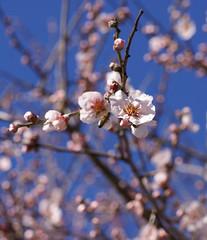 Mandel / almond (Prunus dulcis) (HEN-Magonza) Tags: botanischergartenmainz mainzbotanicalgardens rheinlandpfalz rhinelandpalatinate deutschland germany frühling spring almond mandel prunusdulcis