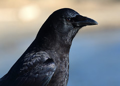 20190302 Oak Bay Crow