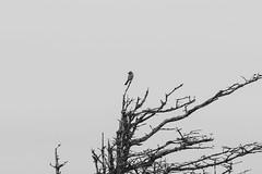 Majestic (Lionelcolomb) Tags: percé québec canada ca bird oiseau tree arbre sky clouds animal wildlife nature noirblanc noiretblanc blackwhite bw canon 1200d sigma 300mm apple adobe imac lightroom