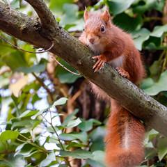 Red squirrel (Eric KAROUTCHÉ) Tags: redsquirrel squirrel ecureuil animal nature boisdevincennes woods forest foret eosr ef100400mm