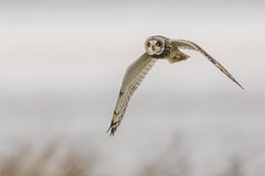 Short-eared Owl (Glenn.B) Tags: gloucestershire nature owl shortearedowl raptor bird avian flight wildlife