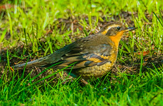 Varied Thrush--DSC9726--Port Orford, OR (Lance & Cromwell back from a Road Trip) Tags: birds thrush variedthrush lawn lawnbirds portorford currycounty oregon oregoncoast wildlife sony sonyalpha a57 tamron 150600mm tamron150600mmg2