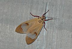 Amerila astreus (creaturesnapper) Tags: frasershill malaysia asia insects stephensplace moths lepidoptera erebidae nationalmothweek amerilaastreus