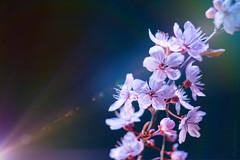 Darkly pink (Elisafox22) Tags: elisafox22 sony nex6 helios442 helios 258 8blade vintagelens pink flower flowers bud buds plumblossom japanese japaneseplum black velvet bokeh lensflare light elisaliddell©2019