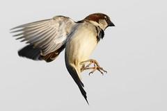 Moineau _DSC1760_DxO (jackez2010) Tags: a77mk2 a77m2 ilca77m2 sal70400g2 bif birdinflight moineau