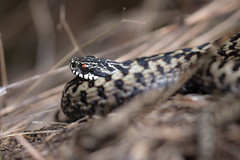 Coiled (music_man800) Tags: vipera berus adder viper snake reptile wild animal animals flora fauna nature natural outdoors outside wildlif wildlife living uk united kingdom essex benfleet downs hadleigh country park cp reserve countryside rural southend leigh walk hike early morning sun bask warm april spring 2019 canon 700d adobe lightroom creative cloud edit photography sigma 150mm macro prime lens focus sharp arty artistic straw