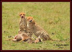 FEMALE CHEETAH WITH HER CUB (Acinonyx jubatus).....MASAI MARA....SEPT 2017. (M Z Malik) Tags: nikon d3x 200400mm14afs kenya africa safari wildlife masaimara keekoroklodge exoticafricanwildlife exoticafricancats flickrbigcats cheetahfamily acinonyxjubatus ngc npc