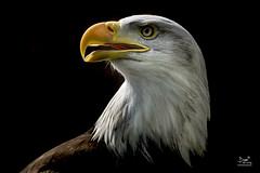 The eagle has landed... (dejongbram) Tags: eagle birdofprey bird american america icon nikond500 animal nature flickrbende baldeagle amerikaansezeearend roofvogel amersfoort