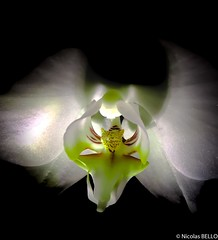 Orchidee by night (NICOLAS BELLO) Tags: huawei orchid art green colors luminosity nature lumiere shadow plant france night beautiful flower luminosite amazing plantes fleurs orchidee flowers ombre light wonderful fleur yellow beauty