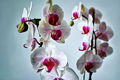 Thinking... and how about if they do not like orchids? (Fnikos) Tags: flower flor fiore pink white orchid mothorchid dark light shadow shadows indoor
