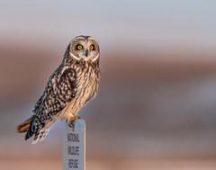 Back to Nature (dshoning) Tags: 52weeksof2019 shortearedowl winter iowa bird nealsmithwildliferefuge sunset