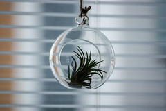 An air plant hanging inside a glass ball (a_ey) Tags: spring calm window decor inside airplant ball greenplant comfortable blue background healthy new fashion greenairplant plant homely interior grey fresh glassball domestic cozy style green living lifestyle hanging detail