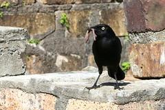 Carib Grackle-Barbados-IMG_6640-001 (cherrytree54) Tags: carib grackle canon 70d 24105 barbados bird canonef24105mmf4lisusm