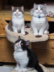 Hier kommt das Vögelchen (Petra Wendt) Tags: cat cats catmoments kitten katze kater kätzchen haustier pet neko britishshorthair britischkurzhaar bkh olympus omd omdem5markii zuiko45mm 45mm