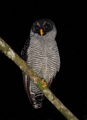 Black & White Owl (ashockenberry) Tags: costa rica reserve rainforest river game forest feathers flight travel tourism tree tropical jungle majestic mountains nature naturephotography natural native beautiful bird black perch wildlife wildlifephotography wild wilderness animal owl exotic eco landscape ashleyhockenberryphotography