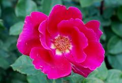 Wo ihrer zwei beisammen sind (amras_de) Tags: rose rosen ruža rosa ruže rozo roos arrosa ruusut rós rózsa rože rozes rozen roser róza trandafir vrtnica rossläktet gül blüte blume flor cvijet kvet blomst flower floro õis lore kukka fleur bláth virág blóm fiore flos žiedas zieds bloem blome kwiat floare ciuri flouer cvet blomma çiçek