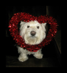 2/12A ~ Riley, my sweet little Valentine! (ellenc995) Tags: riley westie westhighlandwhiteterrier 12monthsfordogs19 valentinesday love thesunshinegroup coth alittlebeauty coth5 fantasticnature akob thegalaxy challengeclub supershot 100commentgroup