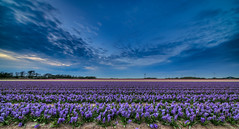 Cool spring breeze. (Alex-de-Haas) Tags: 11mm adobe blackstone d850 dutch hdr holland irix irix11mm irixblackstone lightroom nederland nederlands netherlands nikon nikond850 noordholland photomatix photomatixpro beautiful beauty bloem bloemen bloementeelt bloemenvelden cloud clouds cloudscape drama dramatic floriculture flower flowerfields flowers hyacint hyacinten hyacinth hyacinths hyacinthus hyacinthusorientalis landscape landschaft landschap lente lucht mooi nature natuur polder skies sky skyscape spectaculair spectacular spring sun sundown sunset wolk wolken zonsondergang