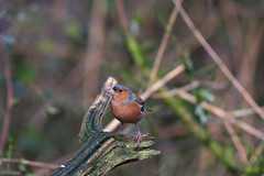 Chaffinch (Alex Srdic) Tags: uk england hampshire newforest southampton ringwood blashford blashfordlakes woodland woodlandhide hide birdhide bird birds passerine passerines chaffinch