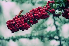 warm (***étoile filante***) Tags: nature natur red rot tree baum berries beeren bokehlicious bokeh pentax