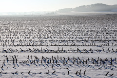 back and forth the field is cut (A. Wrench) Tags: farm crop farmland land landscape snow wisconsin cold agriculture corn maize cornrows winter rural