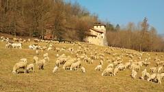 Un gregge a Torba (Luc1659) Tags: unesco pecore gregge torba italy monastero