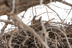 March 2, 2019 - A great horned owl in its nest. (Tony's Takes)