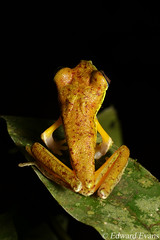 Critically endangered lemur leaf frog (Agalychnis lemur) - male (edward.evans) Tags: leaffrog phyllomedusinae hylidae lemurleaffrog agalychnislemur conservation amphibian criticallyendangered guayacánrainforestreserve guayacan crarc siquirres costarica rainforest wildlife nature centralamerica latinamerica costaricanamphibianresearchcenter