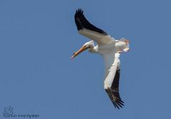 American White Pelican. (Estrada77) Tags: americanwhitepelicans pelicans bigbirds inflight sky wildlife birds birding animals nikon nikond500200500mm nature winter2019 mar2019 outdoors foxriver kanecounty illinois