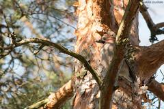 Eurasian Jay (uusija) Tags: eurasianjay garrulusglandarius bird linnut luonto nature närhi