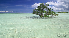 Lone Mangrove (engrjpleo) Tags: pungtudisland virginisland bohol panglao island sandbar seascape sea seaside shore water waterscape landscape tree cloud outdoor centralvisayas philippines