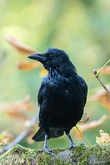20180930_Vincennes_Corneille noire (thadeus72) Tags: aves birds carrioncrow corneillenoire corvidae corvidés corvuscorone oiseaux passériformes