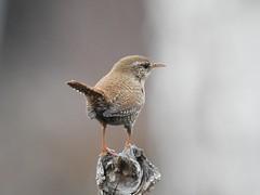 Wren (Troglodytes troglodytes) (eerokiuru) Tags: wren troglodytestroglodytes zaunkönig käblik nikoncoolpixp900 p900 bird wildlife nature birding vogel