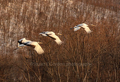 In Flight Entertainment (chasingthelight10) Tags: events travel photography landscapes snowscenes places japan hokkaido yudanaka otherkeywords wildlife things japaneseredcapcrane japaneseredcrownedcrane