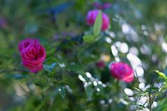 roses et flou (guy dhotel) Tags: rose soleil sun