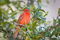 Merry Christmas - Summer Tanager (FollowingNature (Yao Liu)) Tags: redbird followingnature christmas rarebird sanjose summertanager