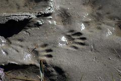 paw prints (Fido Cat) Tags: nature frippisland southcarolina birds storks woodstork herons greenheron midnightheron egret